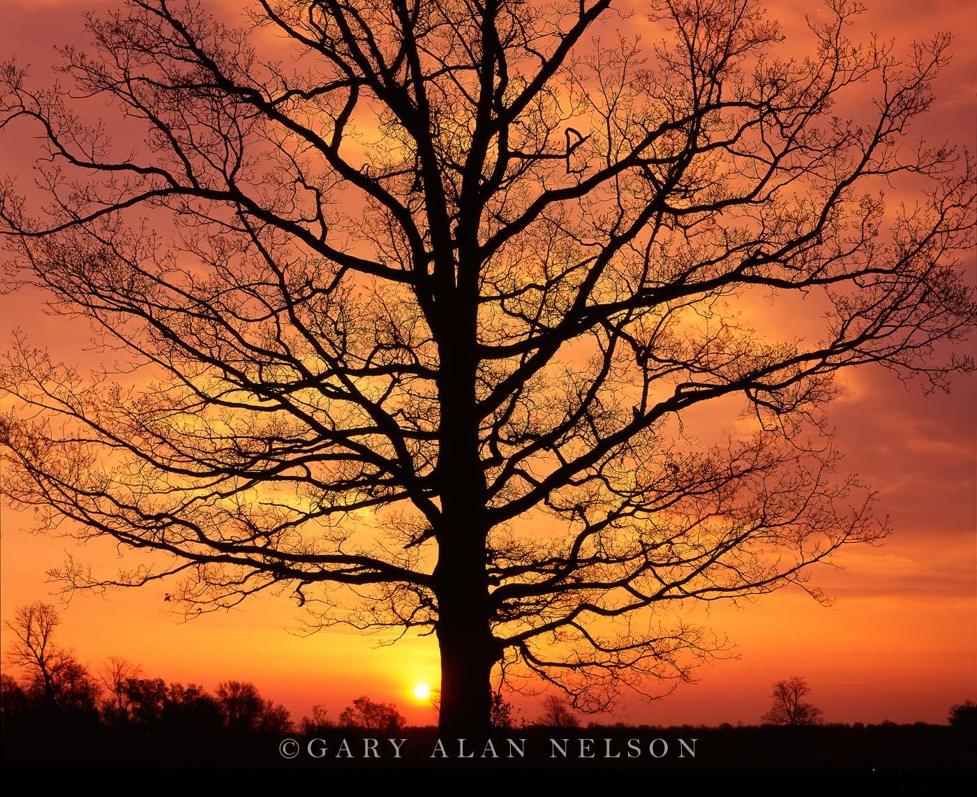 minnesota, oak tree, sunrise, photo
