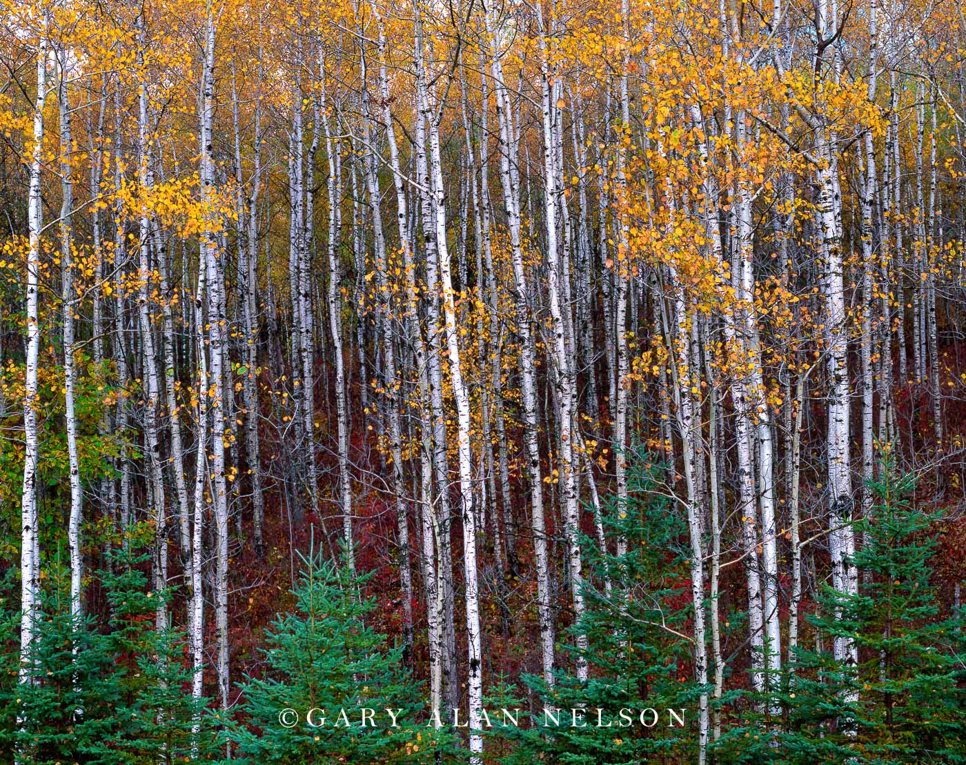 minnesota, wildlife area, aspen, spruce, photo