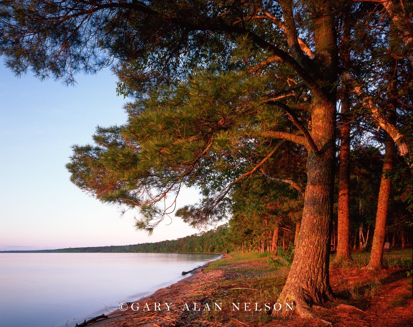 chippewa national forest, cass lake, minnesota, white pines, photo