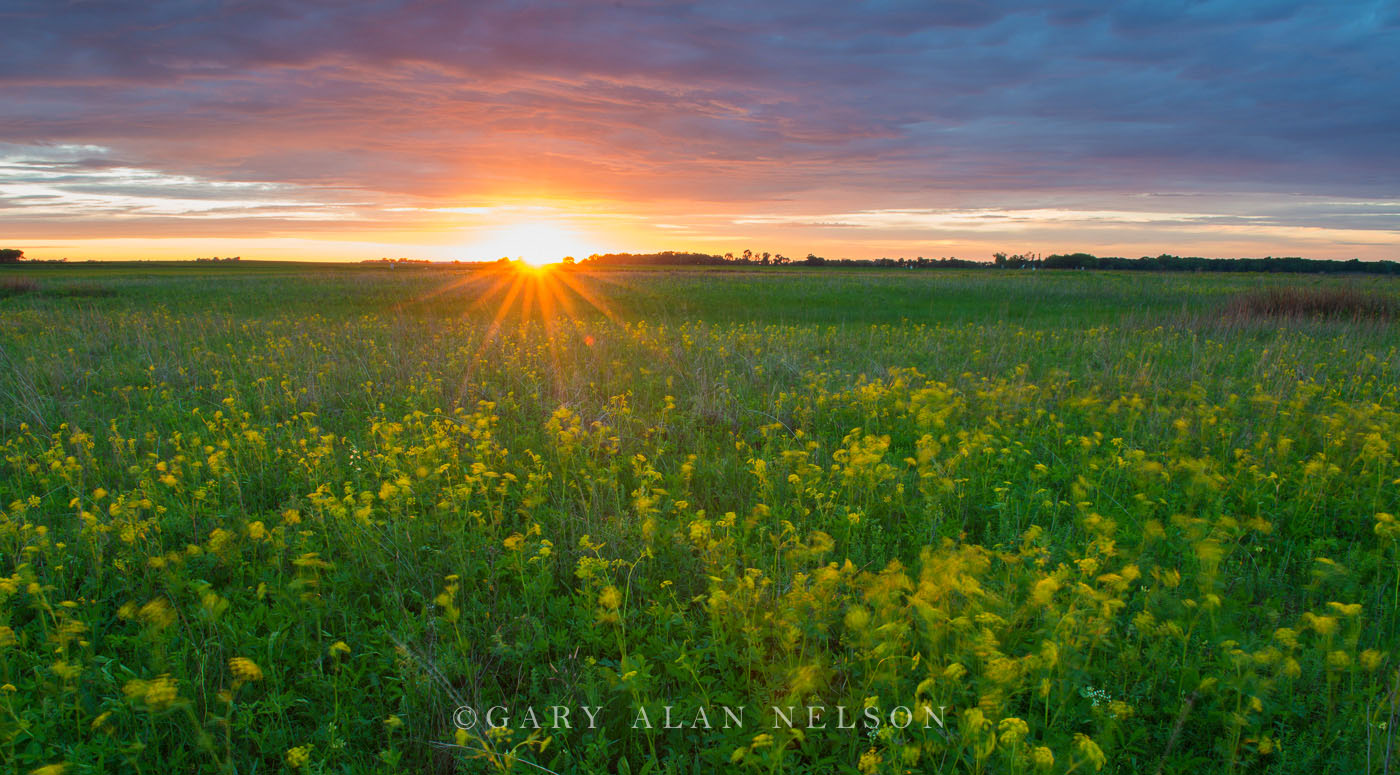 Golden alexanders, sunset, prairie and sky, Butternut Valley Prairie SNA, Minnesota, photo