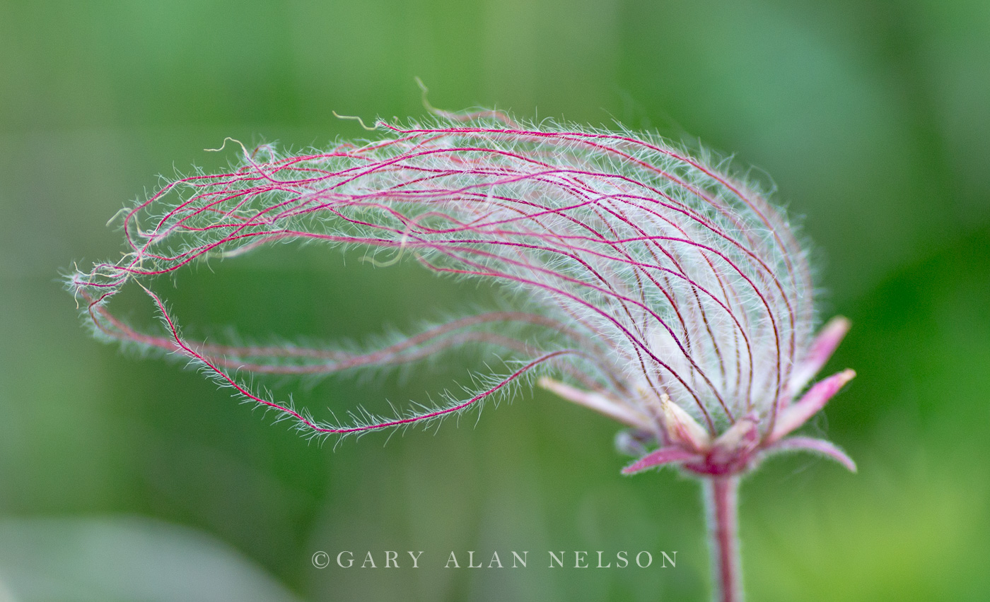 Prairie Smoke, (Geum triflorum), Prairie Marshes Wildlife Management Area, Minnesota, photo