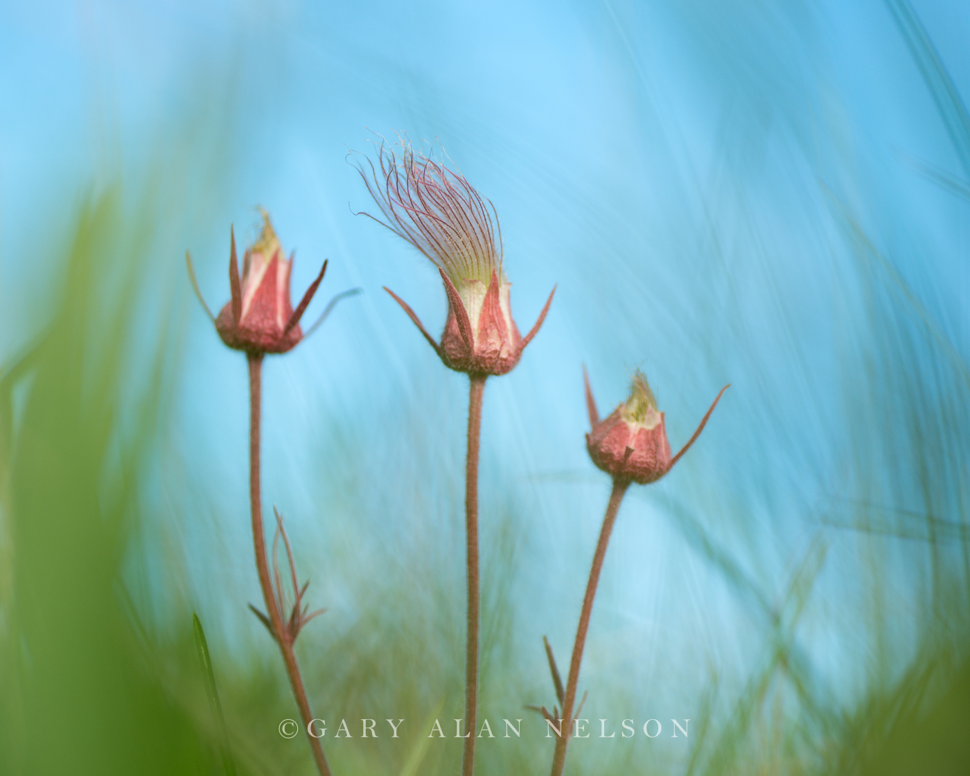 Prairie Smoke, (Geum triflorum), Prairie, Marshes, Wildlife Management Area, Minnesota, photo