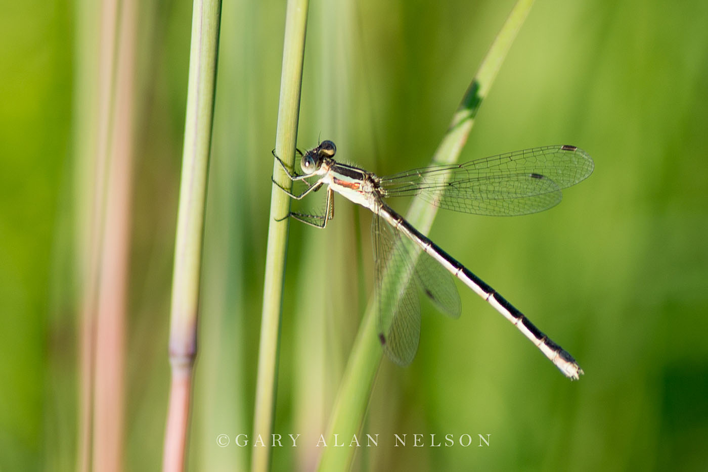 prairie grass, minnesota, damselfly, photo