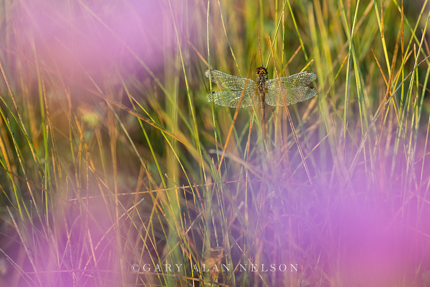 dragonfly, purple prairie clover, minnesota, photo