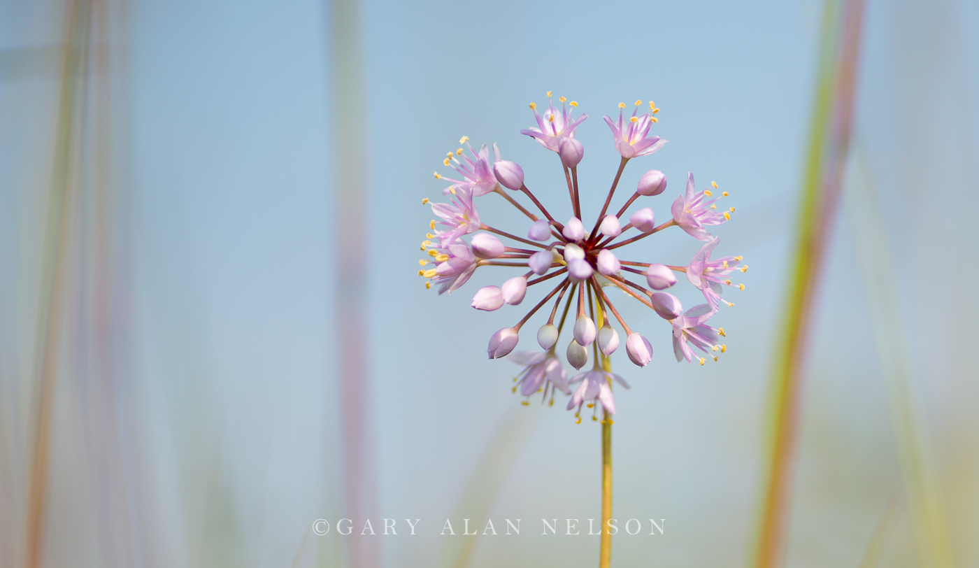 prairie onion, minnesota, photo