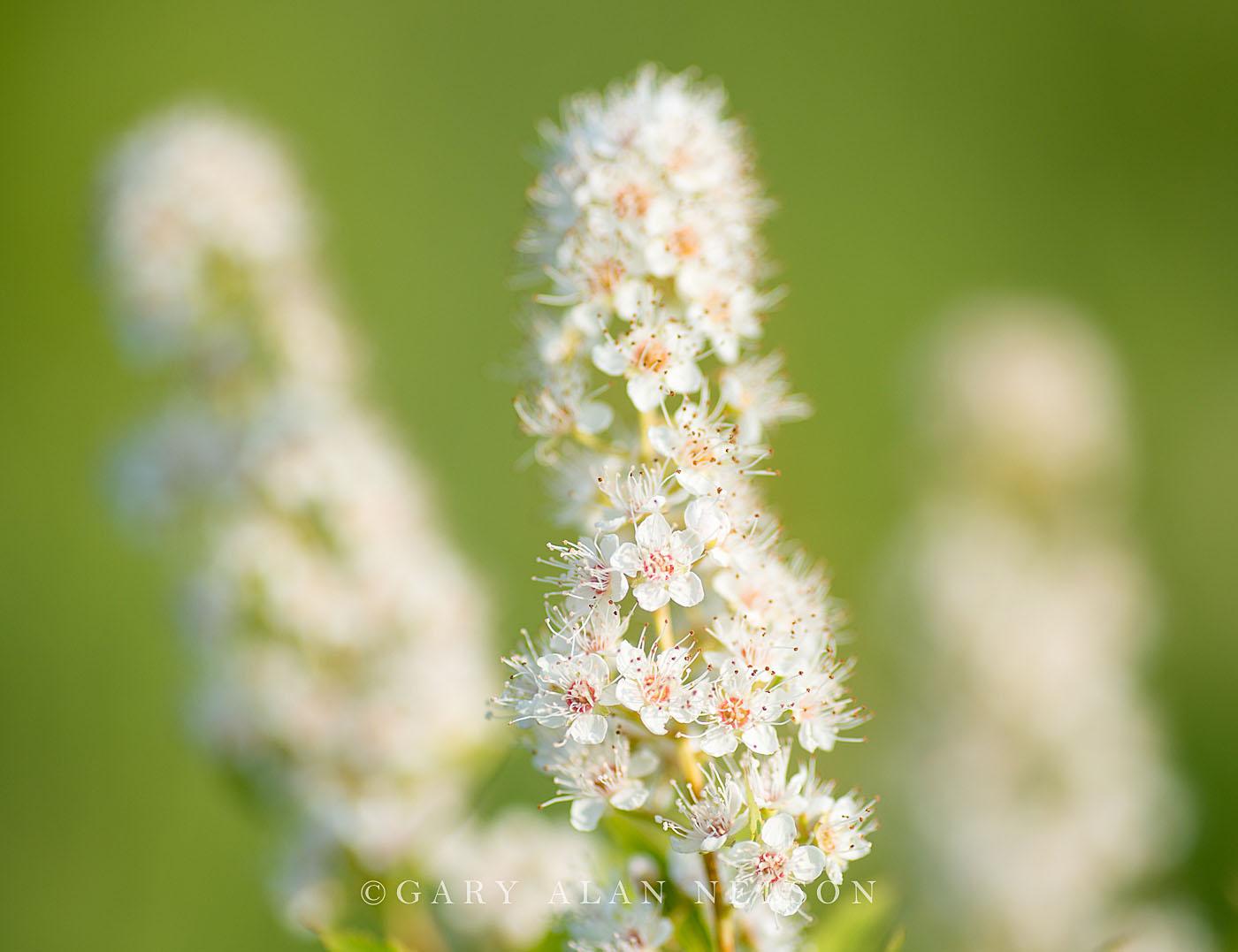 minnesota, meadowsweet, prairie, photo