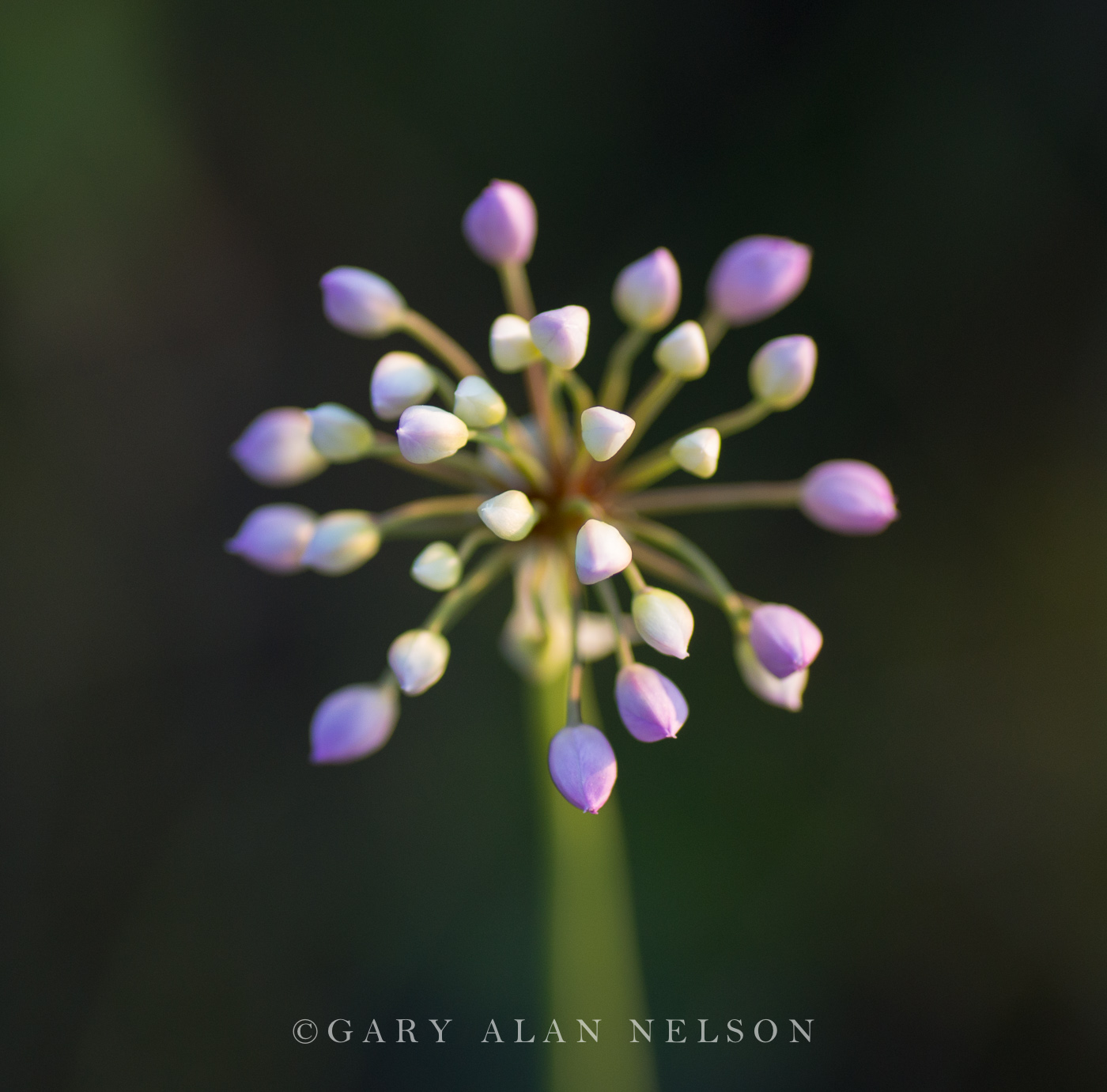 prairie onion, prairie, minnesota, photo