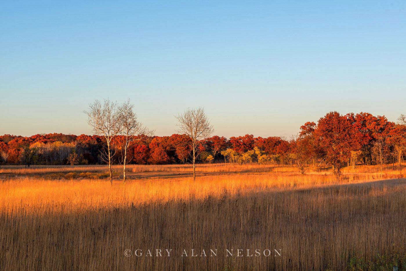minnesota, prairie, birch trees, cedar creek natural area, photo