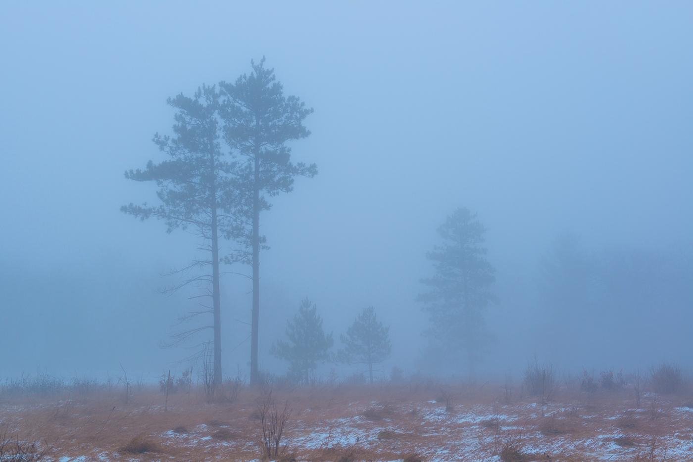 Red Pines in fog. Wild River State Park, St. Croix National Scenic River, Minnesota