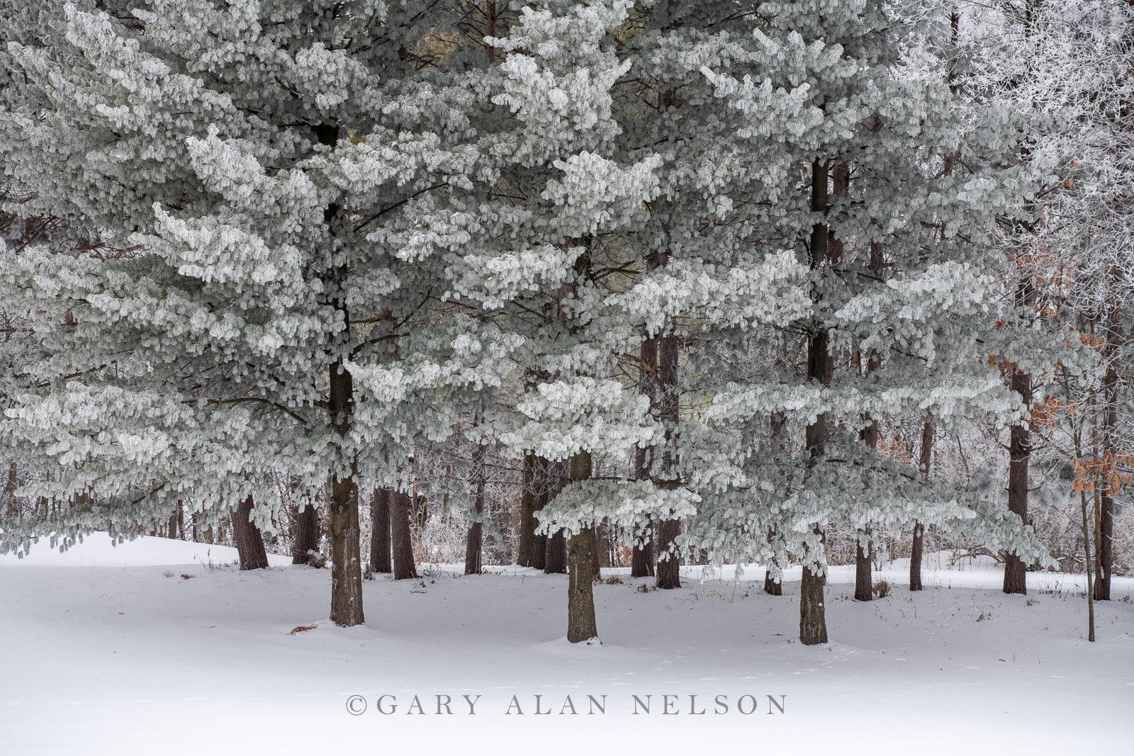 Thick rime ice in the woods, Central Minnesota