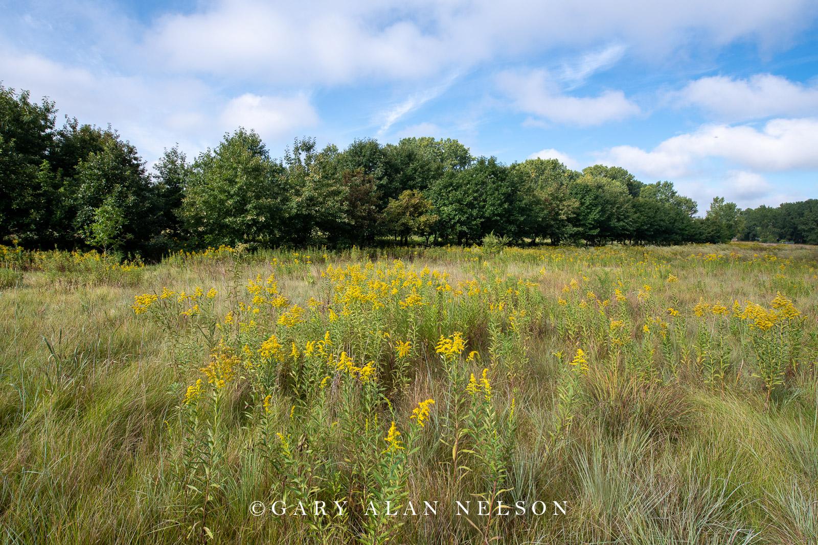 Prairie grasses and goldenrod on the Bruce Vento Nature Sanctuary, St. Paul, Minnesota
