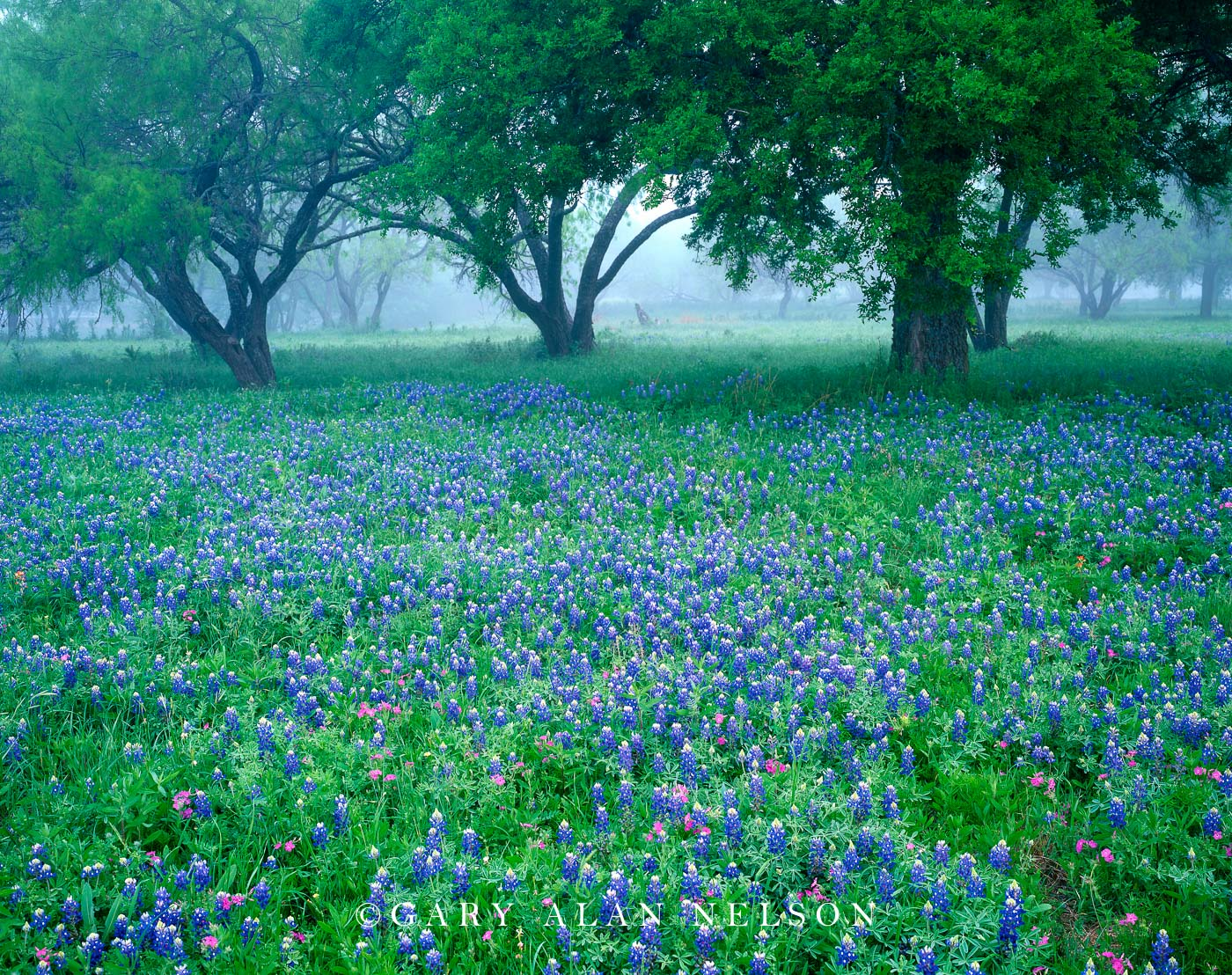 Blanco County, Texas, bluebonnets, phlox, oak trees, photo