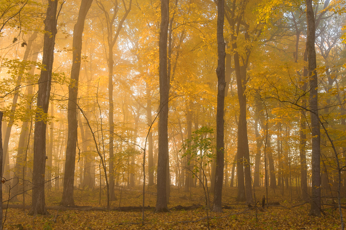 Foggy morning in a forest along the St. Croix National Scenic River, Wisconsin/Minnesota